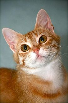 Domestic Mediumhair Cat for adoption in Des Moines, Iowa - TIMMIE KAT