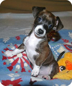 Dachshund/Terrier (Unknown Type, Small) Mix Puppy for adoption in Homewood, Alabama - Gretal