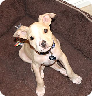 Pit Bull Terrier/Beagle Mix Puppy for adoption in Los Angeles, California - BamBoo- Pit/Beagle/Chi mix