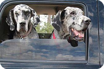 Great Dane Dog for adoption in Chandler, Arizona - Buster