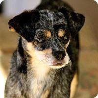 Adopt A Pet :: Ginger - Naugatuck, CT