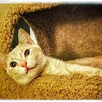 Domestic Shorthair Cat for adoption in Alpharetta, Georgia - Buffy (CL)