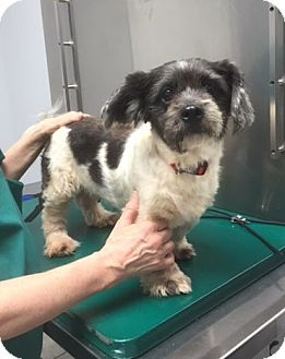 Shih Tzu/Terrier (Unknown Type, Small) Mix Dog for adoption in Houston, Texas - Mandy