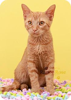 Domestic Shorthair Kitten for adoption in Sterling Heights, Michigan - Alice
