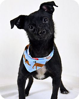 Chihuahua/Terrier (Unknown Type, Small) Mix Dog for adoption in Palmyra, Pennsylvania - Colt