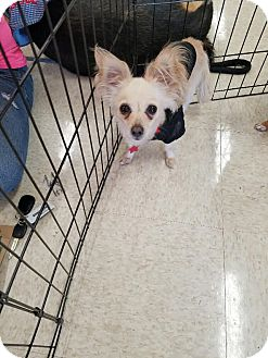 Papillon/Chihuahua Mix Dog for adoption in Goodyear, Arizona - Char Char (Charlie)