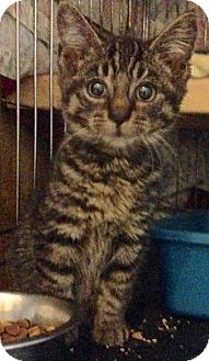 American Shorthair Kitten for adoption in Brooklyn, New York - Arthur