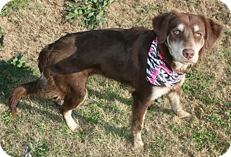 Australian Kelpie Mix Dog for adoption in Pilot Point, Texas - Gracie