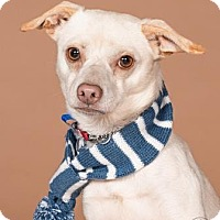 Chihuahua Mix Dog for adoption in Northbrook, Illinois - Mitchel