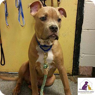American Bulldog Mix Dog for adoption in Eighty Four, Pennsylvania - Geno