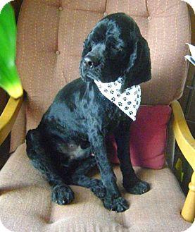 Cocker Spaniel Dog for adoption in Livonia, Michigan - Bon Jovi-ADOPTED