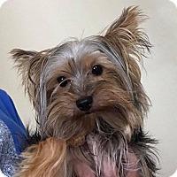 Adopt A Pet :: Little Man - Ft. Lauderdale, FL