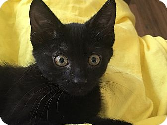 Domestic Shorthair Kitten for adoption in Tampa, Florida - Moto