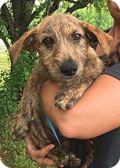 Dachshund/Terrier (Unknown Type, Medium) Mix Puppy for adoption in Syracuse, New York - Bear