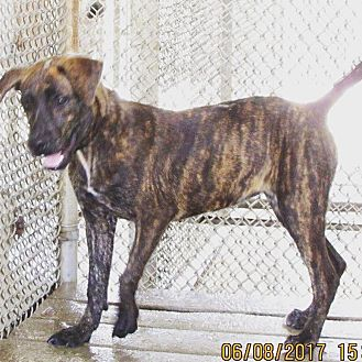 Mountain Cur/Pit Bull Terrier Mix Puppy for adoption in Haines City, Florida - Brittany