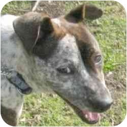 Whippet/American Pit Bull Terrier Mix Dog for adoption in Berkeley, California - Risa