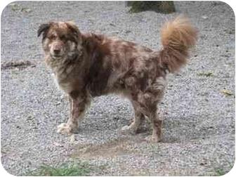 Australian Shepherd Mix Dog for adoption in Baton Rouge, Louisiana - Peter