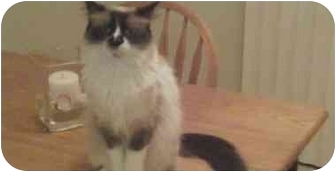 Ragdoll Cat for adoption in Keizer, Oregon - Baby