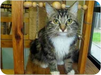 Domestic Mediumhair Cat for adoption in San Clemente, California - CINDY
