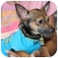 Photo 3 - Chihuahua Mix Dog for adoption in Coral Springs, Florida - Tony