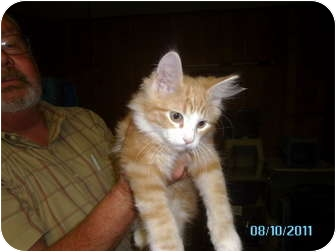 Domestic Longhair Kitten for adoption in Tipton, Iowa - Clyde