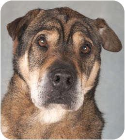Shar Pei/Shepherd (Unknown Type) Mix Dog for adoption in Chicago, Illinois - Parker