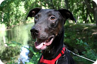 Greyhound/Labrador Retriever Mix Dog for adoption in Douglas, Massachusetts - Willie