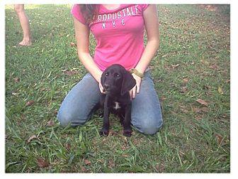 Labrador Retriever/Hound (Unknown Type) Mix Puppy for adoption in Chesterfield, Virginia - Hunter