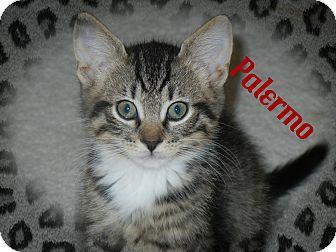 Domestic Shorthair Kitten for adoption in Cincinnati, Ohio - Palermo