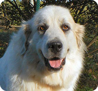 Great Pyrenees Mix Dog for adoption in Centerville, Tennessee - Cheyenne
