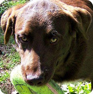 Labrador Retriever/Chesapeake Bay Retriever Mix Dog for adoption in Wakefield, Rhode Island - Miss JOURNEY