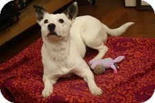 Rat Terrier/Bull Terrier Mix Dog for adoption in Knoxville, Tennessee - Gracie