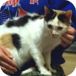 Calico Cat for adoption in Colorado Springs, Colorado - Mary Kate