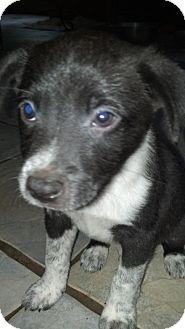Australian Shepherd Mix Puppy for adoption in Glastonbury, Connecticut - Bradley