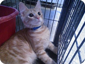 Domestic Shorthair Kitten for adoption in East Stroudsburg, Pennsylvania - Tennessee