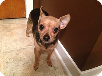 Chihuahua Dog for adoption in Crown Point, Indiana - Gracie