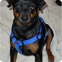 Adopt A Pet :: Killer - dewey, AZ
