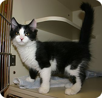 Domestic Mediumhair Kitten for adoption in Pinehurst, North Carolina - Oreo
