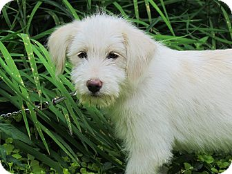 Terrier (Unknown Type, Medium) Mix Puppy for adoption in Bedminster, New Jersey - SHASTA