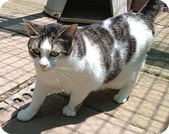 Domestic Shorthair Cat for adoption in Centerton, Arkansas - Morgan