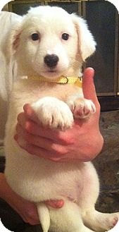 Great Pyrenees/Border Collie Mix Puppy for adoption in Warwick, Rhode Island - Noel
