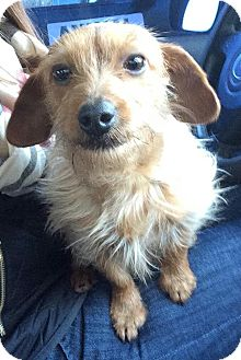 Dachshund/Yorkie, Yorkshire Terrier Mix Dog for adoption in Beverly, Massachusetts - Henry (11 lbs)