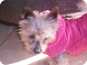 Yorkie, Yorkshire Terrier Dog for adoption in Raleigh, North Carolina - Tansi