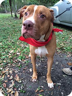 American Staffordshire Terrier Mix Dog for adoption in Coral Springs, Florida - Mickie