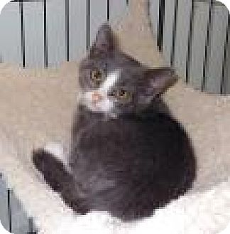 Domestic Shorthair Kitten for adoption in Mission Viejo, California - Shy GreyBoy