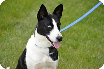 Border Collie Mix Dog for adoption in Parkville, Missouri - Lucy