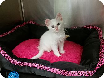 Domestic Mediumhair Kitten for adoption in Houston, Texas - Helga