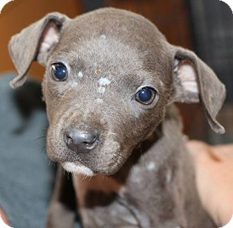 Pit Bull Terrier Mix Puppy for adoption in New Orleans, Louisiana - Chooka
