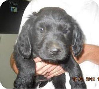 Cocker Spaniel/Labrador Retriever Mix Puppy for adoption in Manhattan, New York - Brody