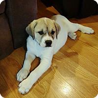 Adopt A Pet :: Duke - Knoxville, TN